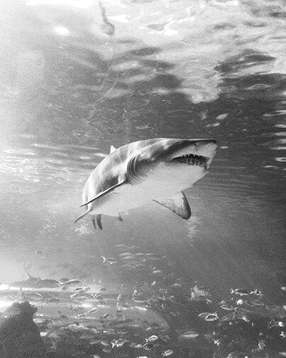 epic shark